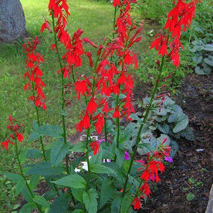 lobelia cardinalis plante indig ne mi ombre ombre 90 cm x 30 cm floraison juillet aout. Black Bedroom Furniture Sets. Home Design Ideas