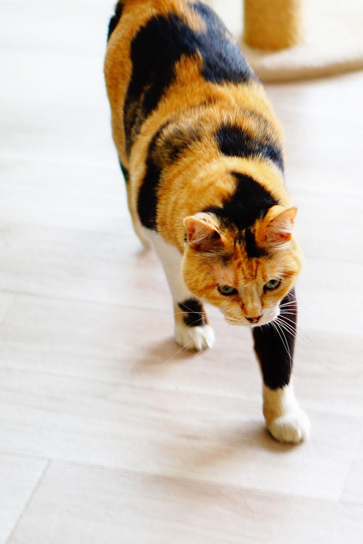 猫に最適な床材ならクッションフロアがおすすめだぞ 猫 ペット クッション