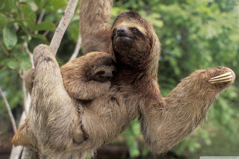 Una animal nativo a Costa Rica es pereza.   Proyecto: Costa Rica en ...