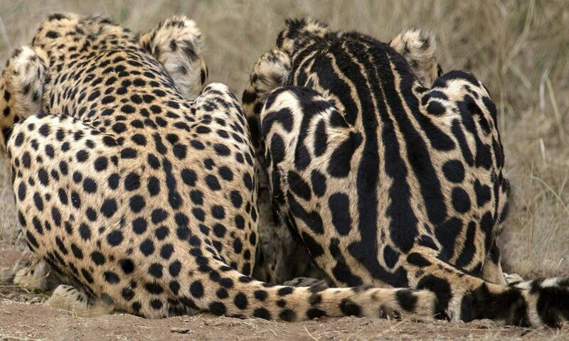 Right King Cheetah Left Normal Cheetah A Genetic Mutation Changes
