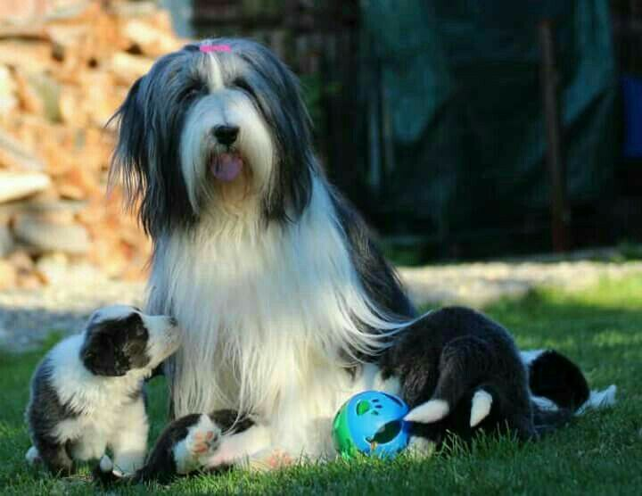 Pin By Barbara Rathmanner On Hundemami Mit Puppies Bearded Collie Collie Dogs