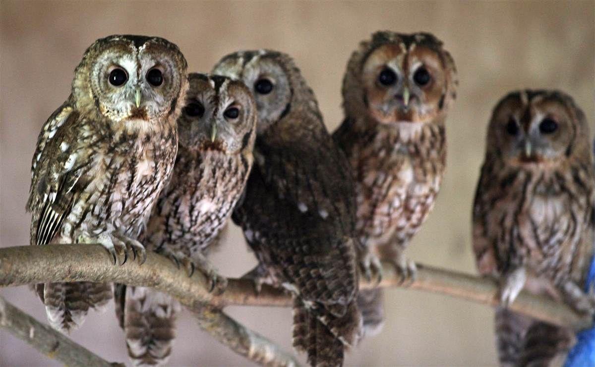 Animal Tracks August 22 29 Animal tracks, Tawny owl, Owl