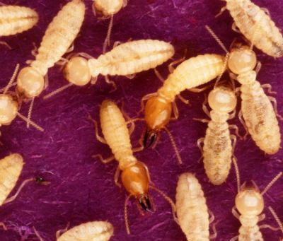 How to get rid of termites yourself kill pests yourself home explore orange oil household tips and more how to get rid of termites yourself solutioingenieria Gallery