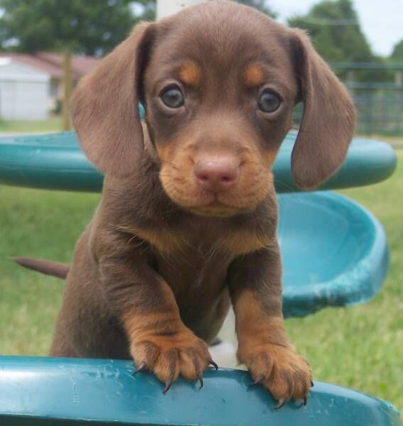 Very small Miniature dachshund puppies for sale on Gumtree