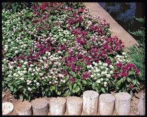 Pase Seeds - Gomphrena Gnome Series Mix Annual Seeds, $3.49 (http://www.paseseeds.com/gomphrena-gnome-series-mix-annual-seeds/)