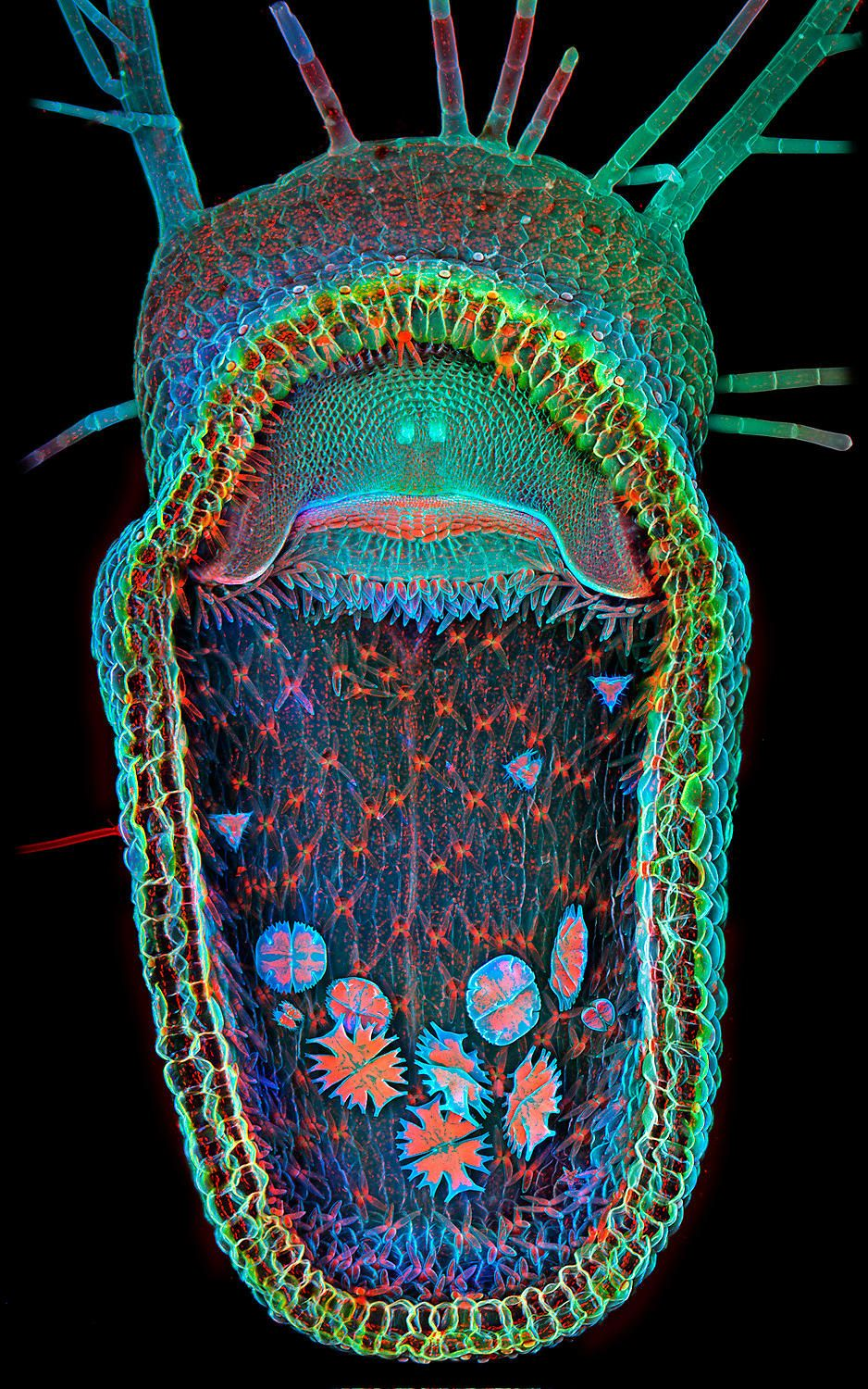 Open trap of aquatic carnivorous plant. (Humped Bladderwort Utricularia Gibba with single-cell organisms inside) - Magnified 100X