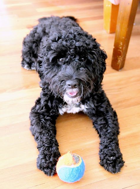 Spoodle Cockerpoo Cockapoo Oodle Poodle Hybrid Poodle Mix Doodle Dog Puppy Pinned By Myoodle Com Spoodle Cockapoo Dog Black Cockapoo