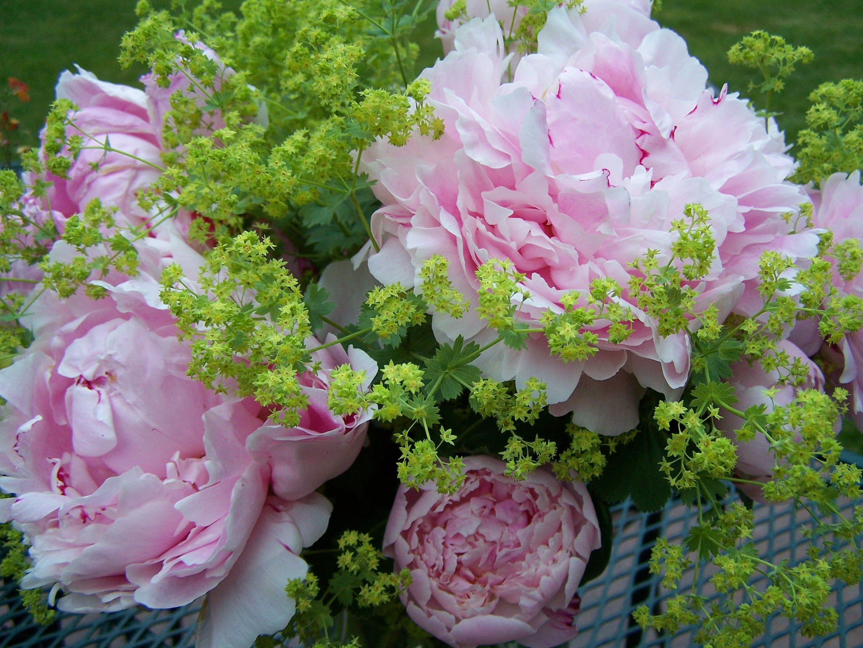 Lovely peonies dreamy flowers pinterest peony water features