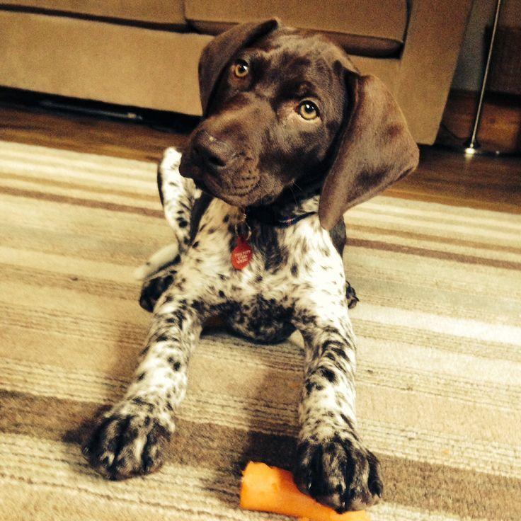 55 Most Popular Pointer Dog Names | Pointer dog, German shorthaired pointer  dog, Pointer puppies