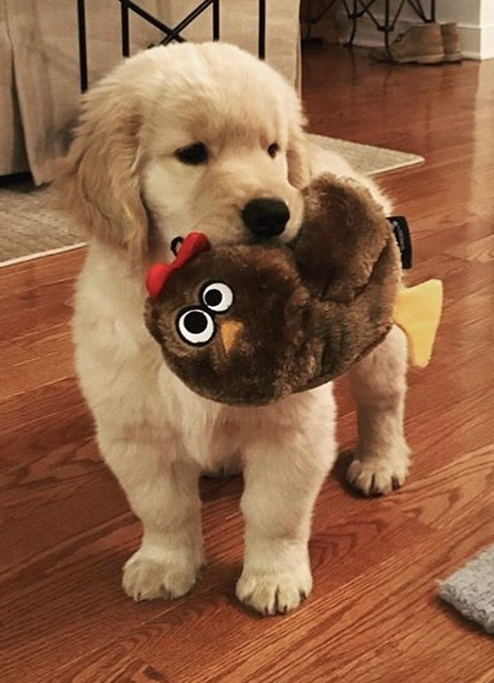 Golden Retriever Why Are They The Perfect Pets Dogs Pinterest
