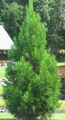 Cryptomeria Radicans Fast Growing Trees Small Front Yard Landscaping Plants