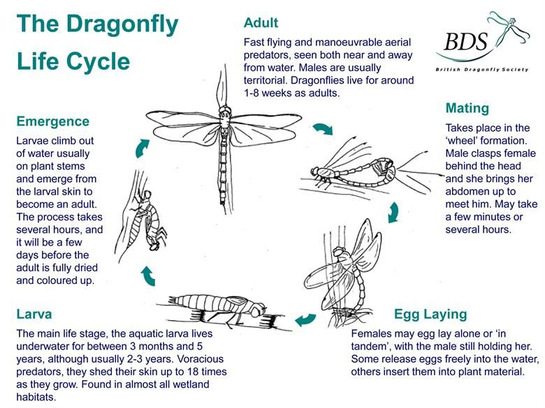 Pin By Jacque M On Writing Dragonfly Dragonfly Life Cycle Life Cycles Science Life Cycles