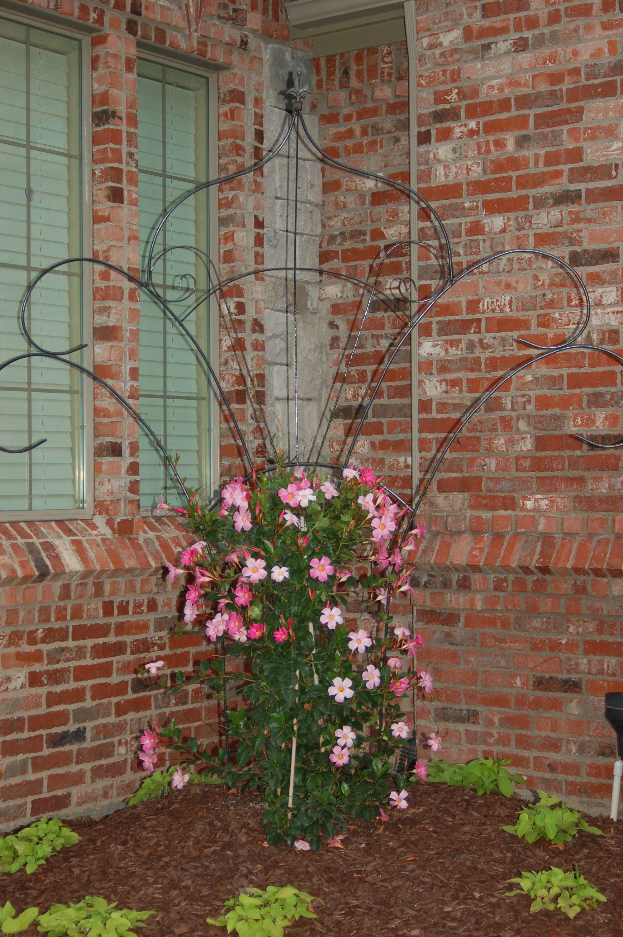 Pink Mandevilla Trellis Vine trellis, Lawn, garden, Garden