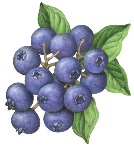 Blueberry Branch Illustration In 2020 Botanical Illustration Watercolor Wreath Drawing Botanical Illustration