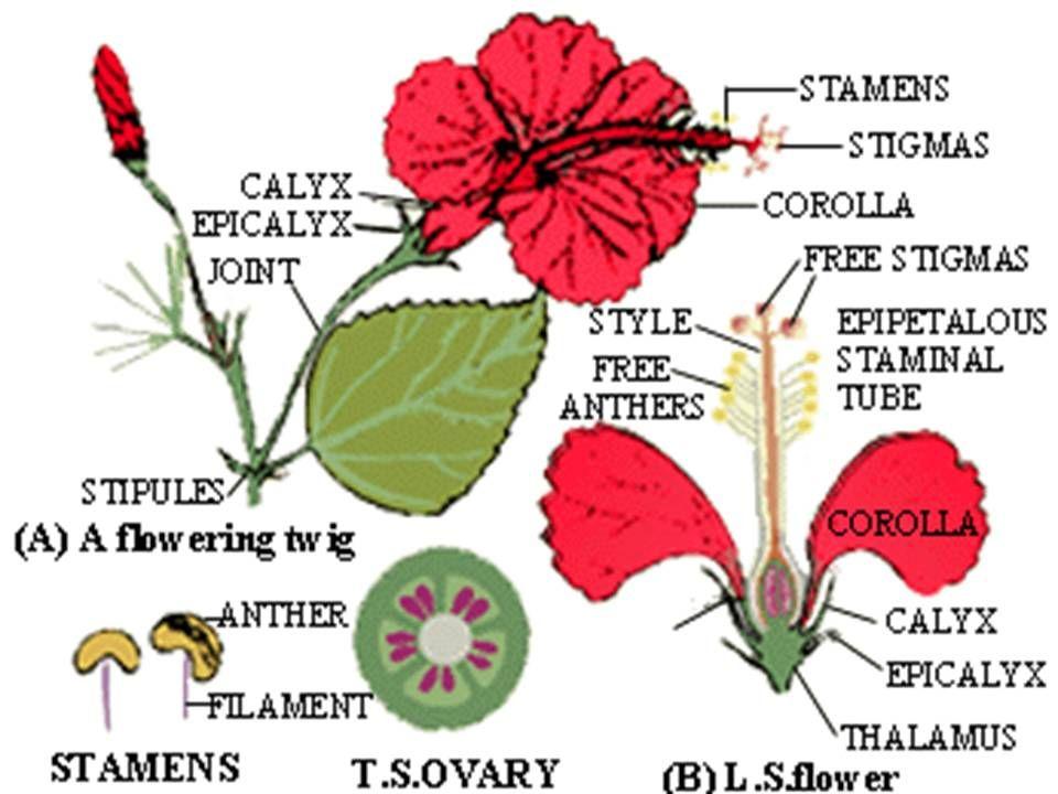 80 Gambar Bunga Mawar Dan Strukturnya Paling Cantik Bunga Kembang Sepatu Gambar Bunga Bunga