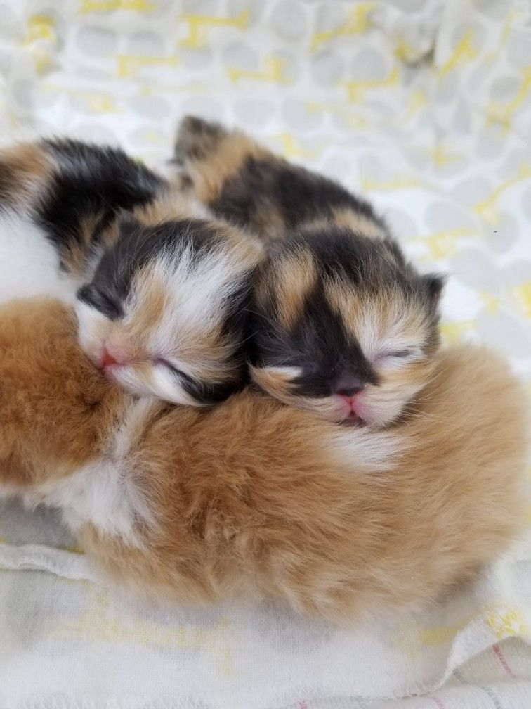 Baby Calico Persian Kittens Kittens Baby Cats Kittens Cutest