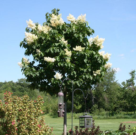 Irish Silk Lilac Tree Google Search Plants Trees