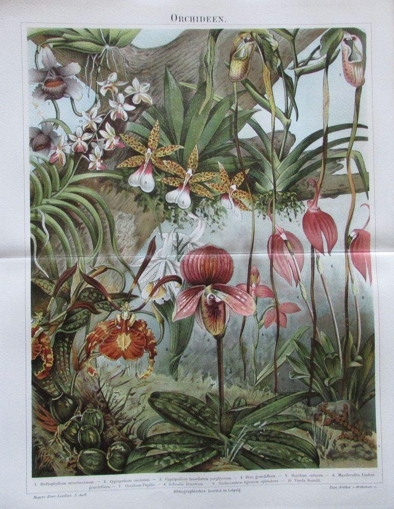 orchideen 1896 original druck farbdruck antique print. Black Bedroom Furniture Sets. Home Design Ideas