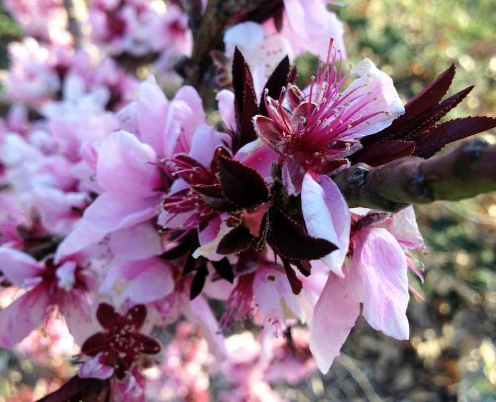 Favorite Fruit Trees For North Texas Blog Preservation Tree Services Dallas Fort Worth Tx Fruit Trees Blooming Trees Pruning Fruit Trees
