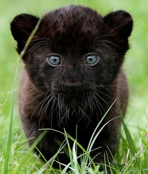 *Black Panther Cub | Big loves | Cute baby animals ... - photo#23