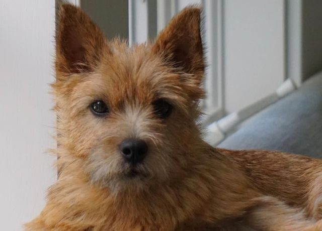 12 More Dog Breed Names You Might Be Pronouncing Wrong Dog Breed Names Dog Breeds Norwich Terrier