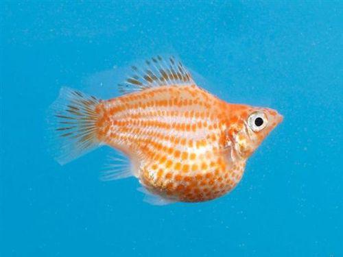 Balloon Mollies Fish Google Search Molly Fish Aquarium Accessories Fish