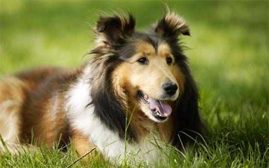 Skippy The Sheltie Lived For 17 Yrs Old Now Thats A Good Life For A Doggie Dog Training Obedience Dogs Dog Wallpaper