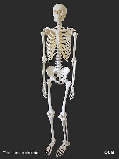 The Human Skeleton Bare Bones Pinterest Human Skeleton