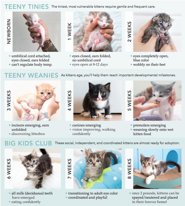 Aging Kitten Lady Kitten Age Chart Newborn Kittens Kitten Care