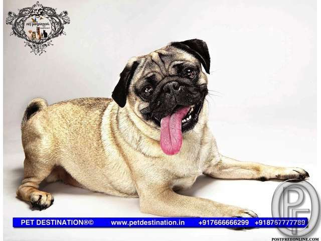 Vodafone Pug Pups Are Available Only With Pet Destination