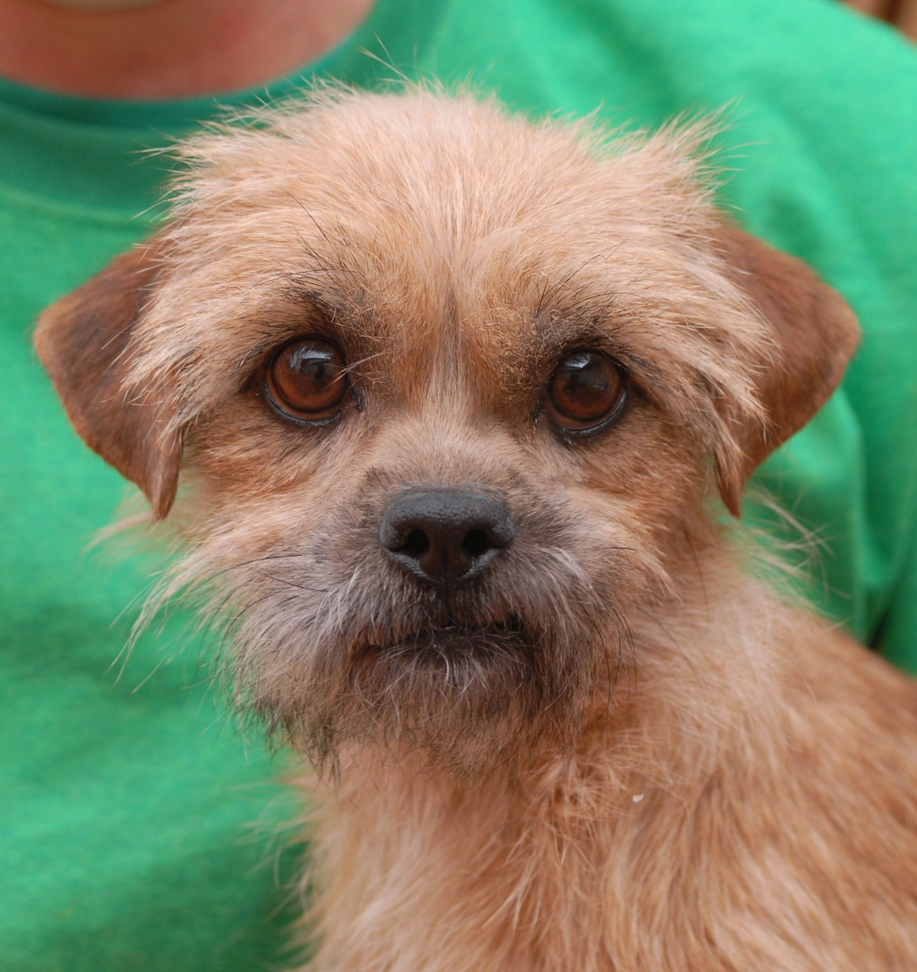 Jade S Big Eyes Express Her Emotions Vividly And Melt Our Hearts She Is A Young Charming Brussels Griffon Shih T Dogs And Kids Dog Adoption Beautiful Dogs