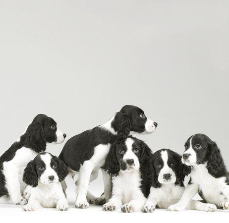 Sharon Montrose Studio Dog Photography Dog Photographer Sharon Montrose Springer Spaniel Puppies Spaniel Puppies Springer Spaniel
