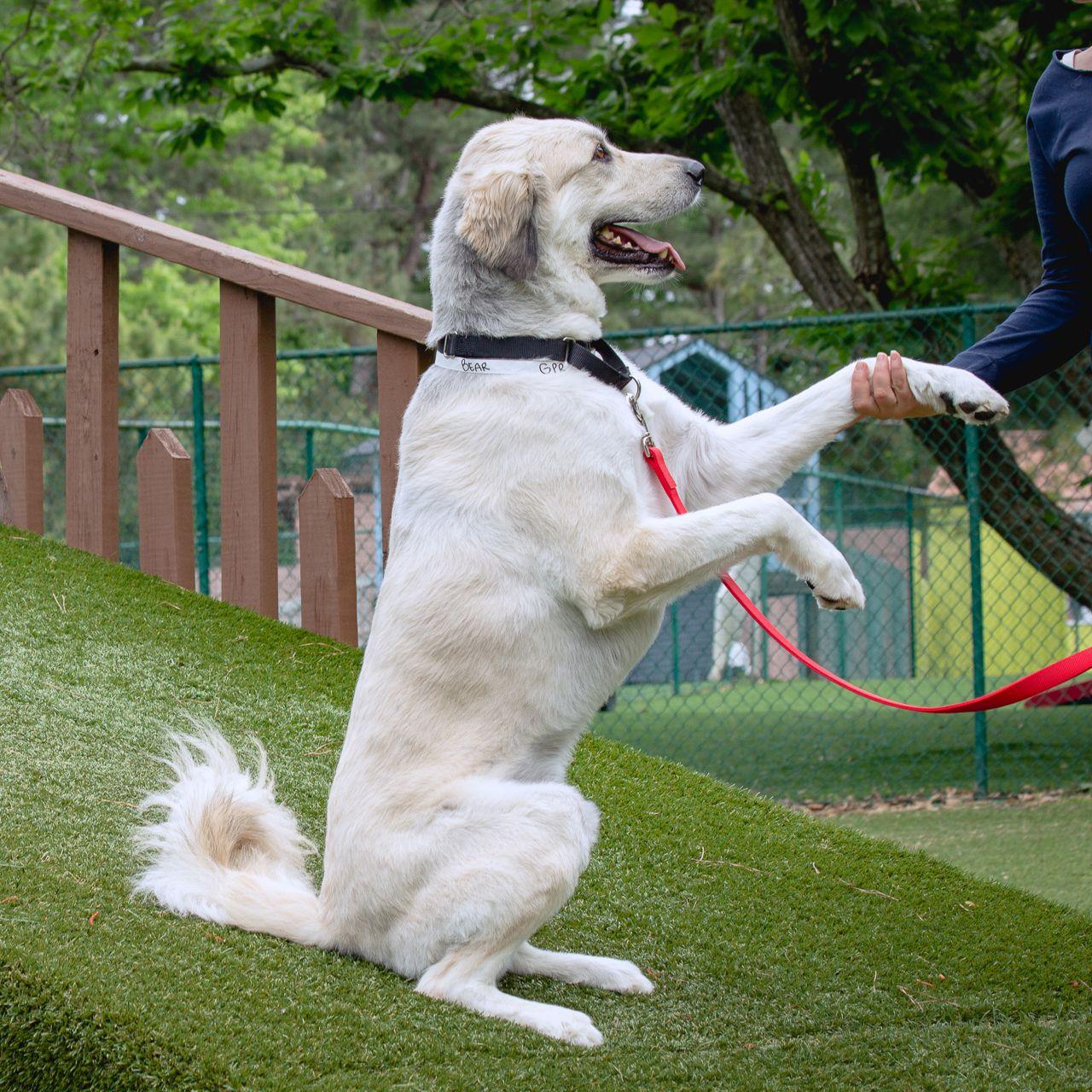 Adopt Bear on Petfinder in 2020 Dog adoption, Help