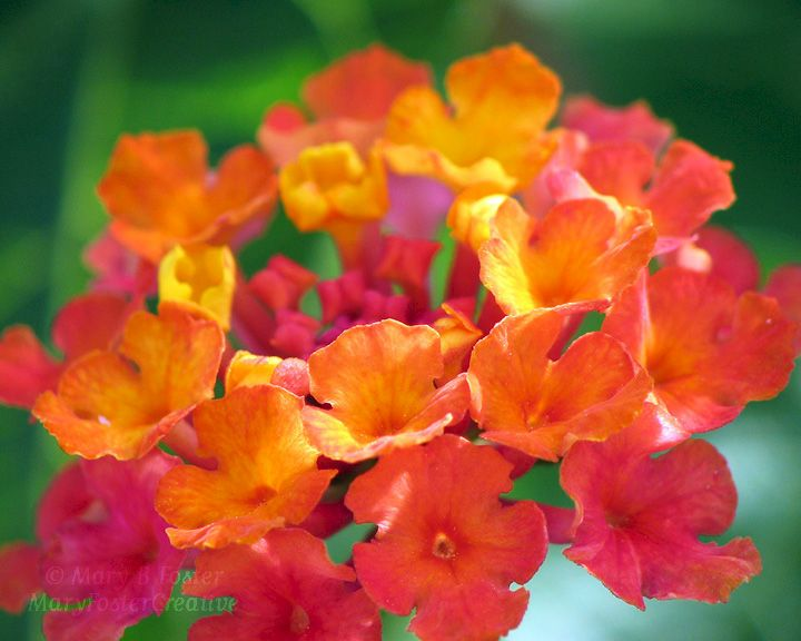 Bright Red Orange Hot Pink Flower Photograph Desert Sunset Lantana Product Image