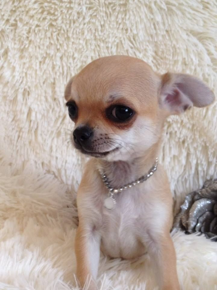 Magoo Chihuahua Puppy For Sale Near San Antonio Texas 06f03744