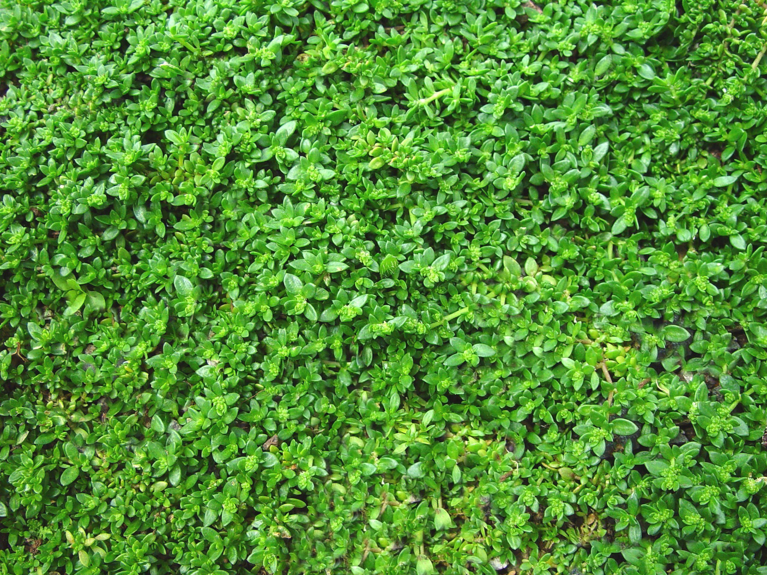 These Plants Like to Be Walked On | Green carpet, Front ...