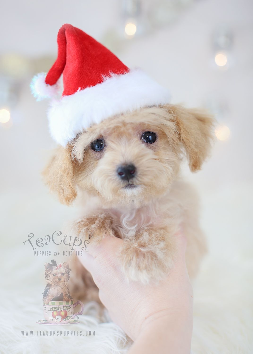 Bichon Poodle Puppy Mixed Breed For Sale (With images