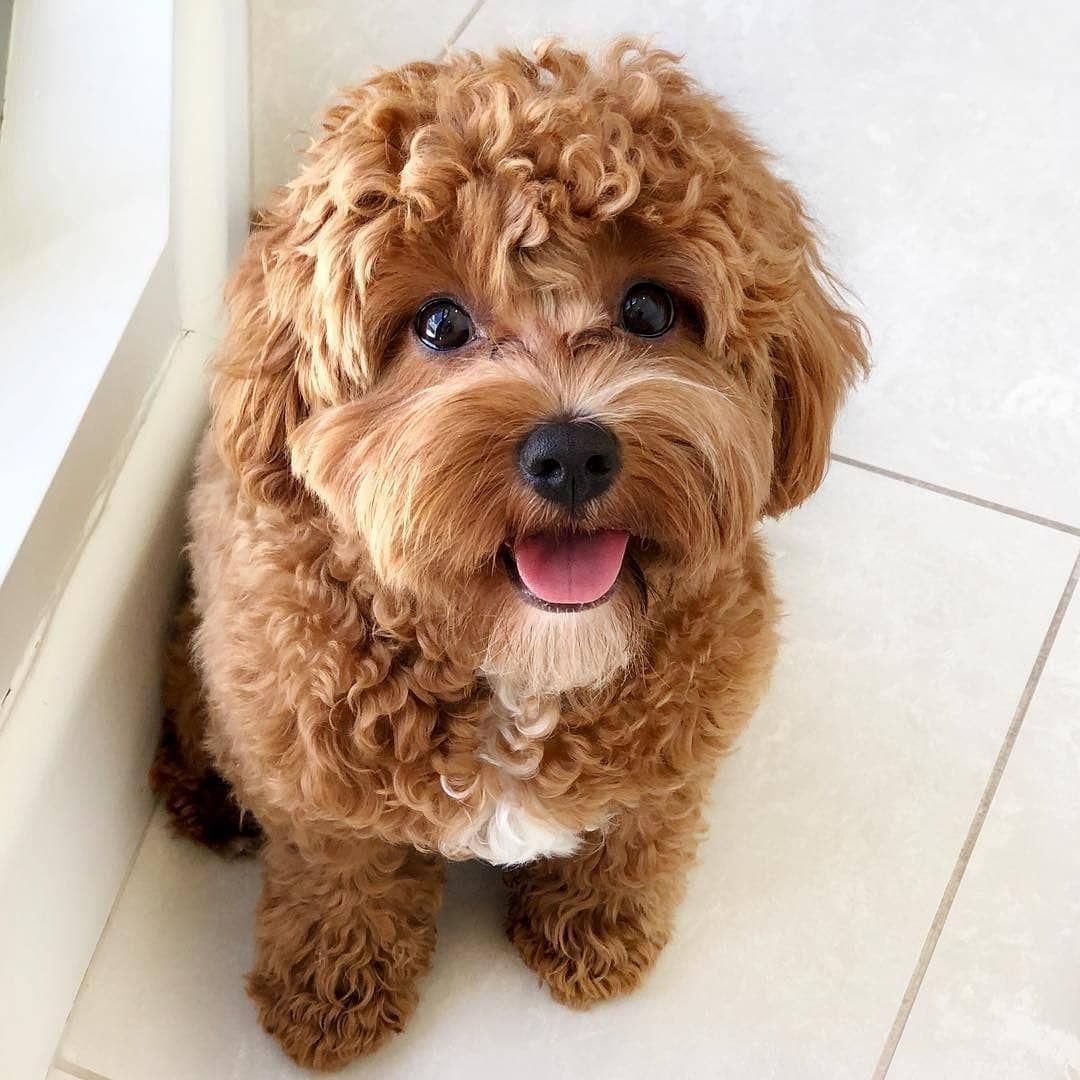 Cavapoo Puppies Information Characteristics Facts Videos