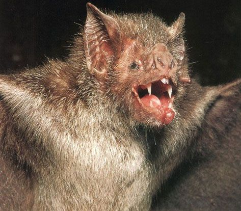5 Amazing Animals That Start With The Letter V Scary Animals Vampire Bat Animals