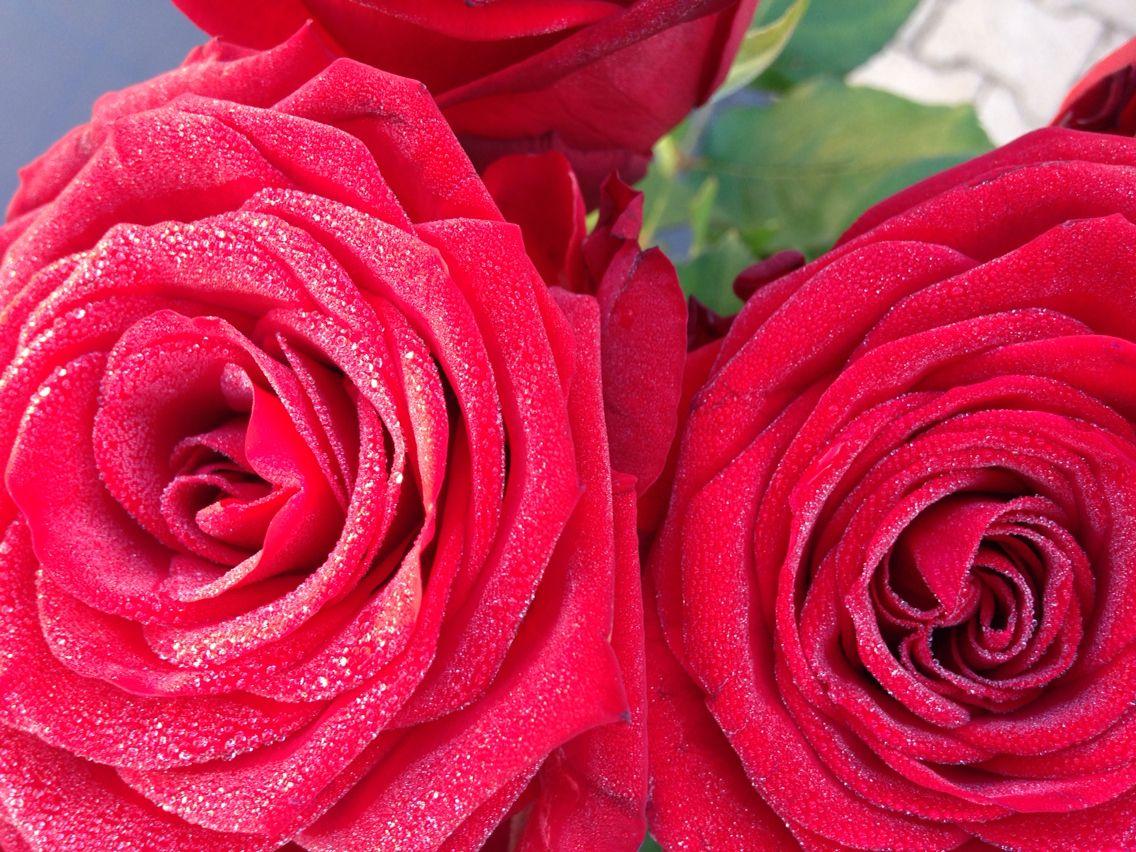 photo de mes roses dans le jardin...