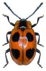 Endomychus Coccineus Palaarktische Region Insekten Einzigartige Tiere Und Tiere