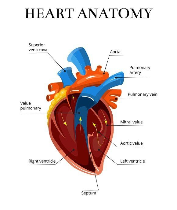 Heart sectional anatomy illustration. Medical Infographic ...