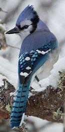 Geai bleu © Yvon TOUPIN