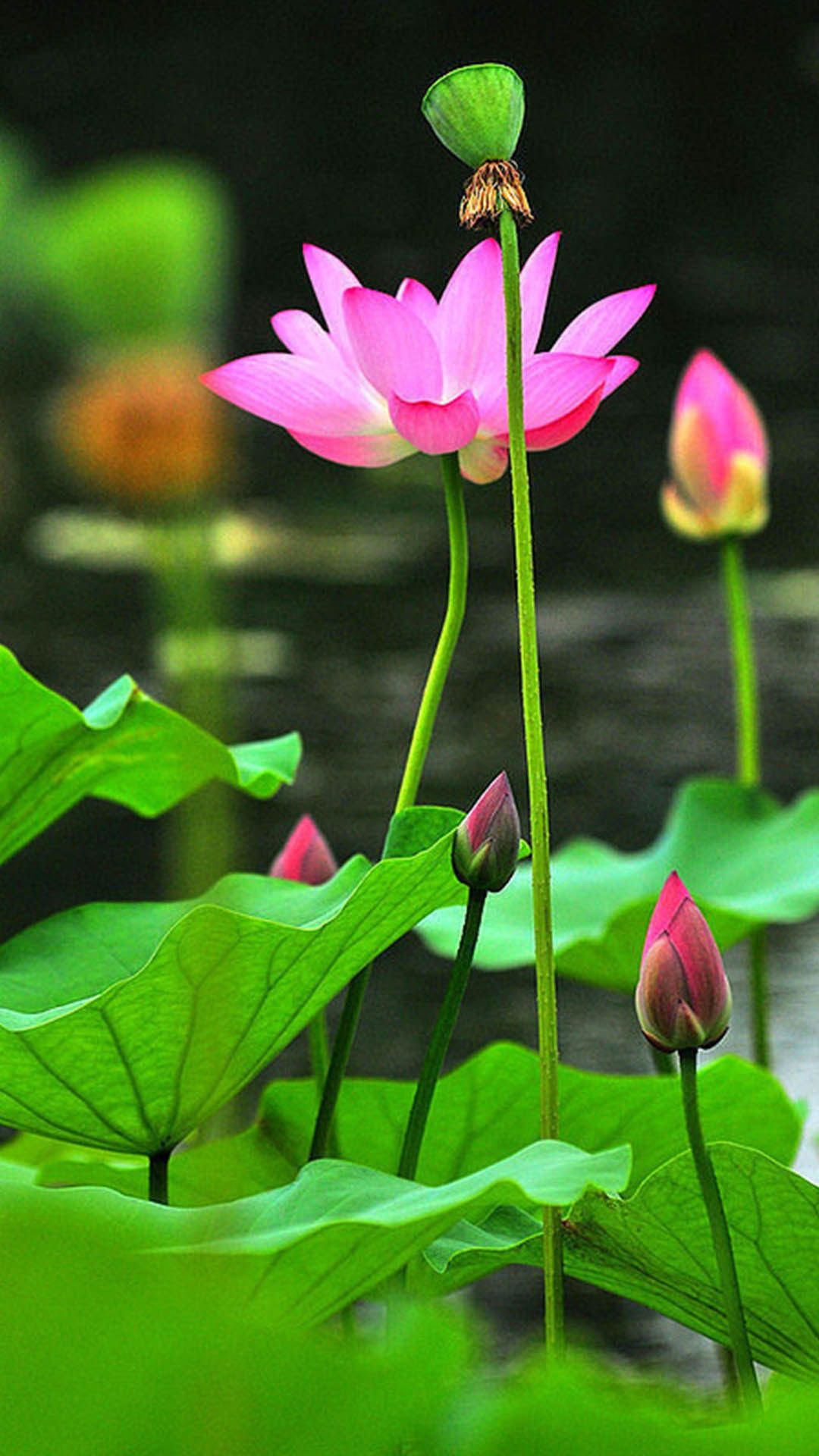 Pin By Trung Tam Udic On Sen Pinterest Lotus Flowers And Gardens