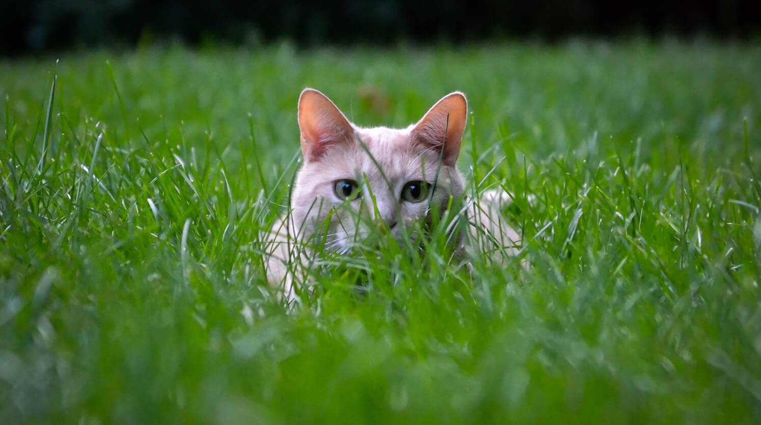 Why Cats Eat Grass Happy Animals Cute Cats Baby Cats