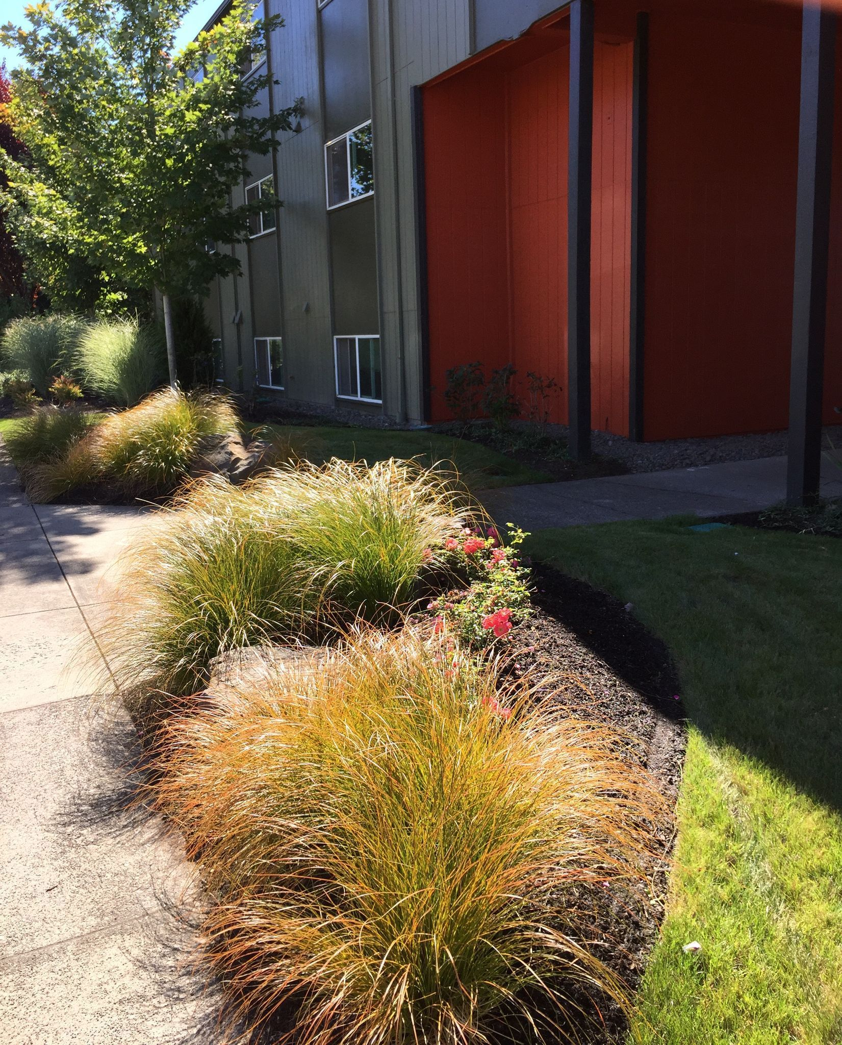 As seen on #RedBird design tv today (JK) aka annual job site curating care check: orange #sedge blowing beautifully in #fall drift and begins the fantastical #autumn #foliage dance that will happen at the front #defensive ('cause their college students) #plantingdesign entry of this student housing property. Next up will be the turn of the maples against the olive green tones of the building. #cantwait Entire palette is in keeping with #OSU color branding including the bold orange building…