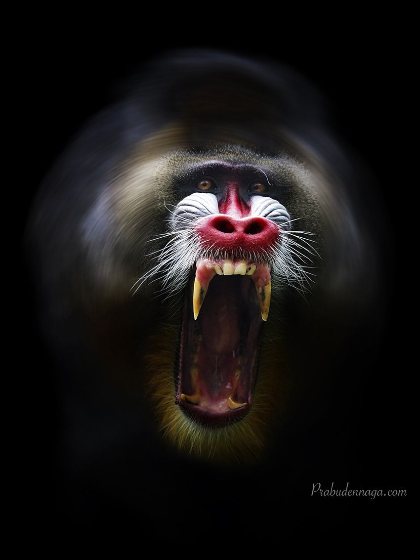 Photograph Vertigo by Prabu dennaga on 500px The Mandrill (Mandrillus sphinx)