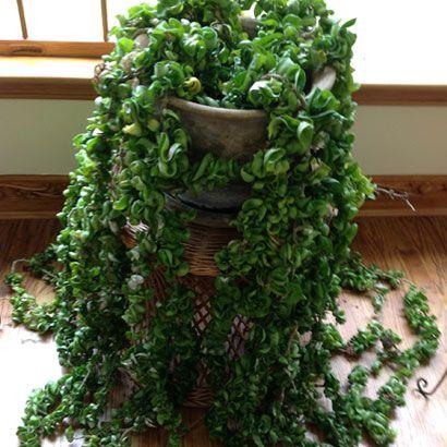 Hoya Carnosa Compacta Aka Hindu Rope House Plants Hindu Rope