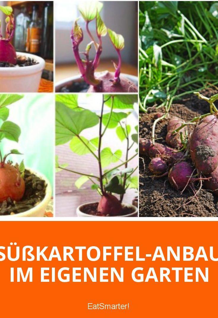 Susskartoffel Anbau Im Eigenen Garten Garten Garten Pflanzen Und Gemuse Pflanzen