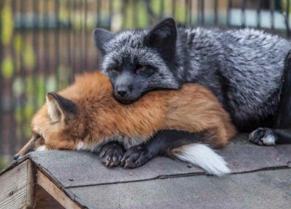 Schönes Fuchs paar #cutefox